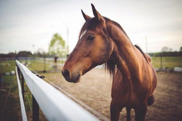 cheval en bord de manège protégé par une clôture